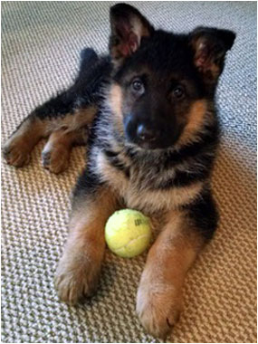 Grasso Dog Training And Shepherds Ct German Shepherds For Sale